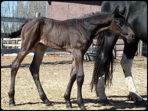 2015 Friesian Sport filly; Black/Brown; Homozygous Black, no white markings